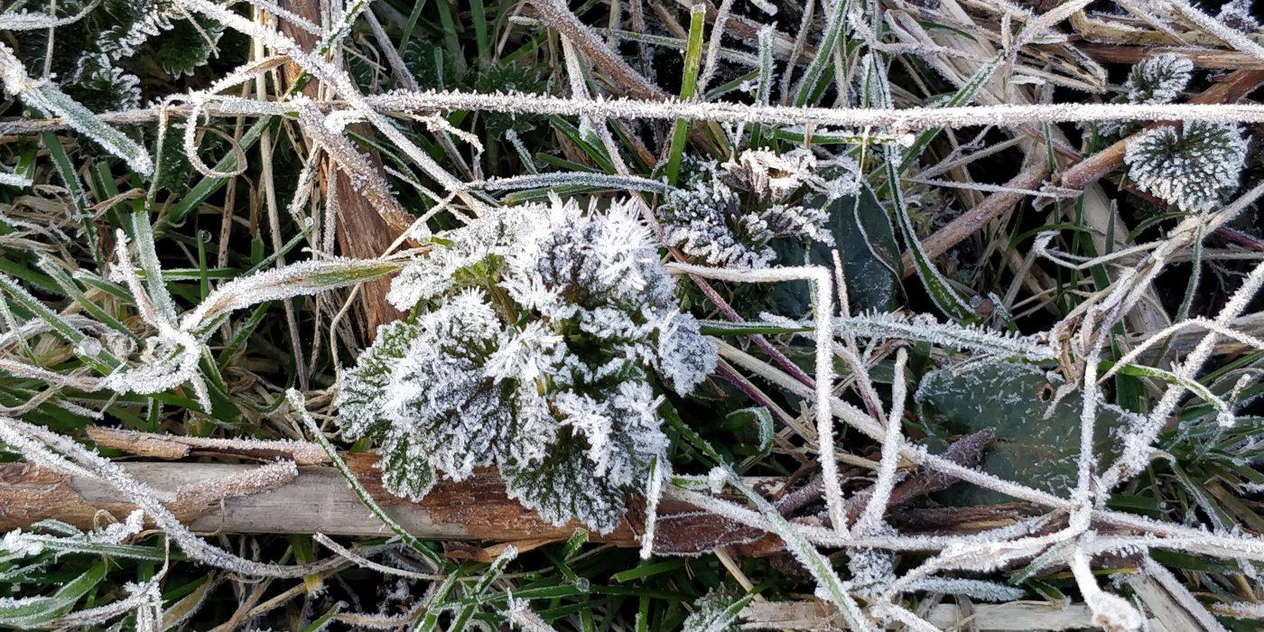 Rimfrost på planter.