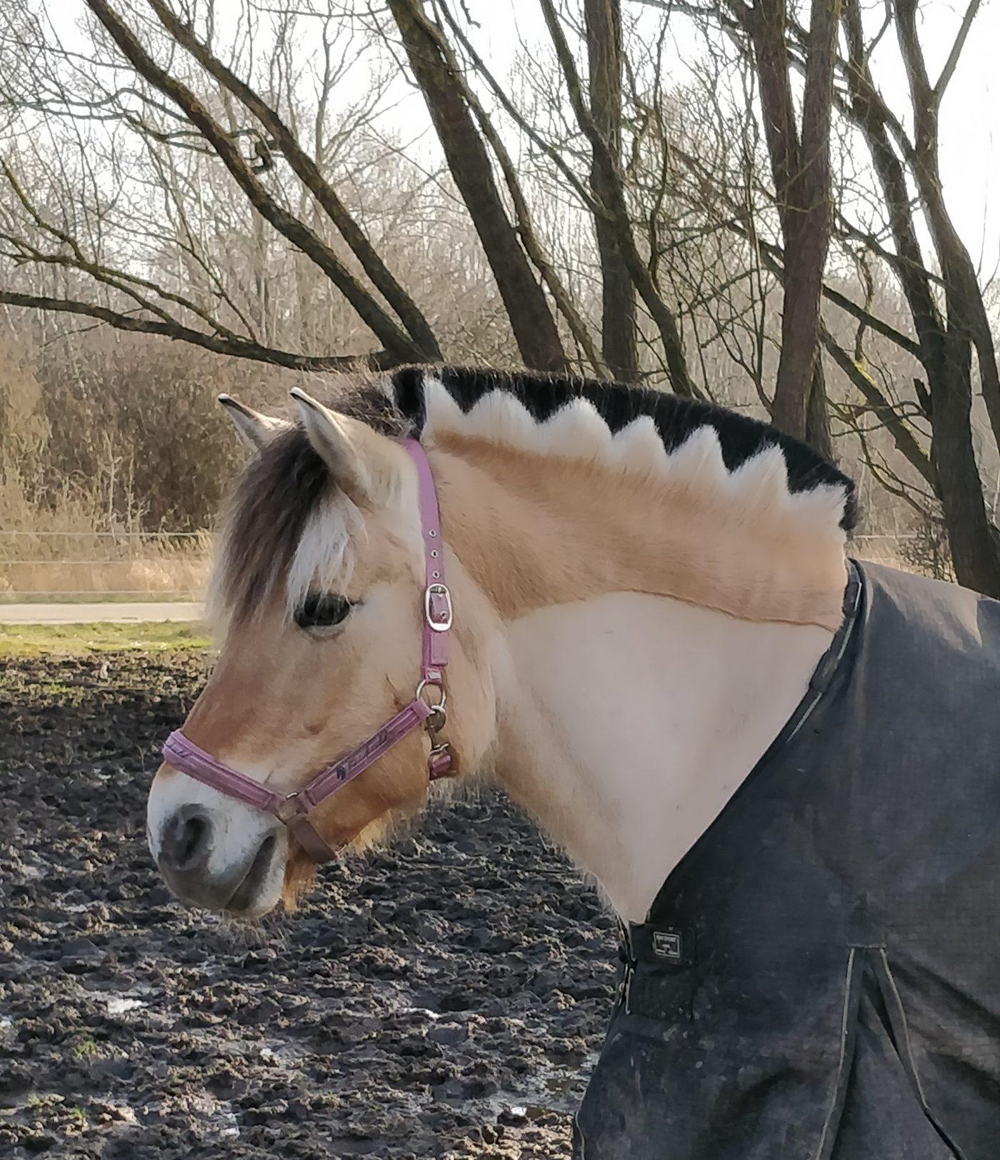Hest med fin sort/hvid zigzag-man.