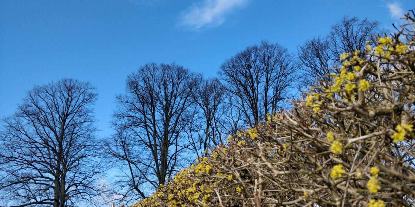 Blå himmel, bare træer og en hæk med gulgrønne skud.