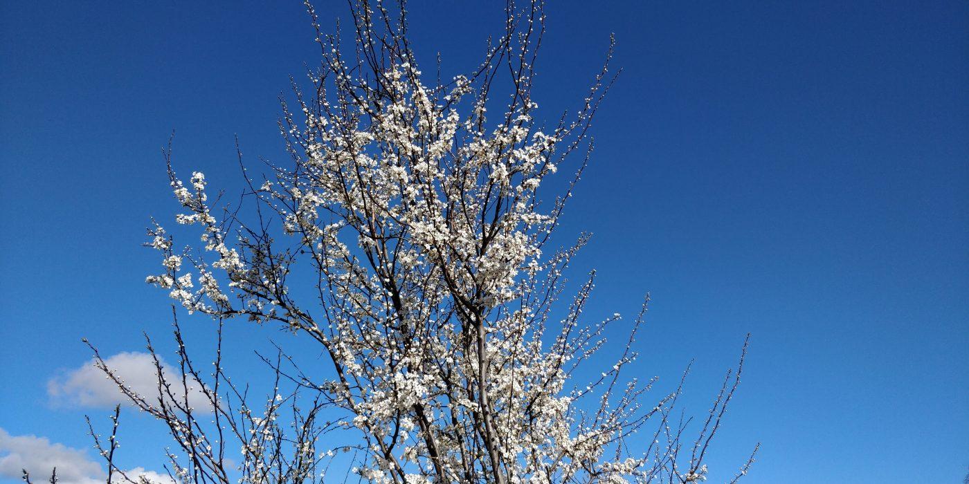 Blå himmel, lammeskyer og et træ med hvide blomster.