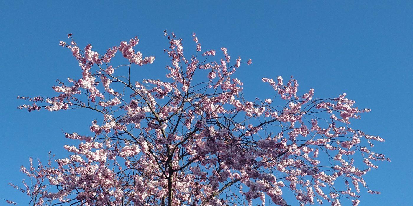 Blå himmel og et træ med lyserøde blomster