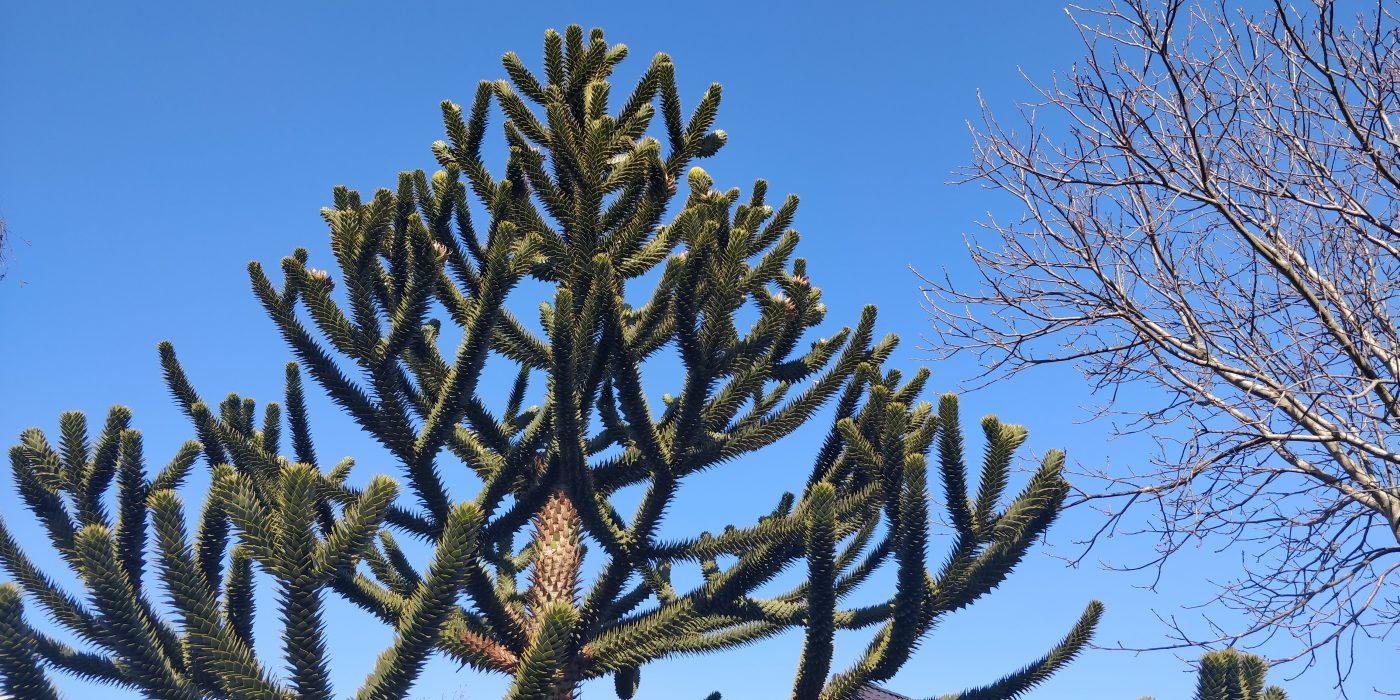 Blå himmel og et særpræget træ.